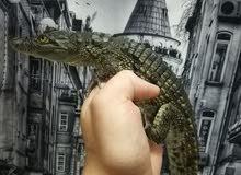 لعشاق الزواحف تمساح نيلي
