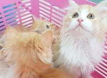مجموعة من القطط الشيرازية. اب وامي شيرازي . للبيع