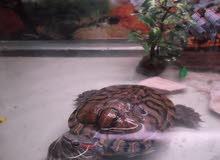 السلاحف الذكية  مائية