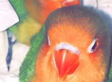 طيور فيشر