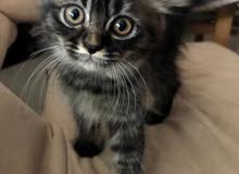 قط شيرازى جميل ولعوب