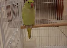 9 months old indian ring neck