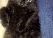 قطه شيرازيه سوداء