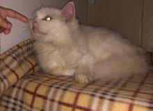 قط شيرازي أنثى للبيع مع دفتر التطعيم