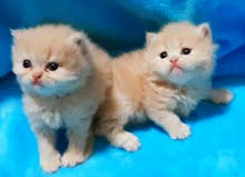 Persian kittens beige color