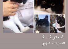 قطط شيرازيه للبيع سعر الواحده 40 ريال.