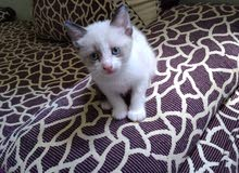 قطط للبيع من نوع صيامو غدكول