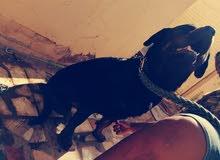كلب روت وايلر الماني العمر سنة و 8شهور الوزن 46 كيلو خشب فل  للبدل بي جوز جيرمن