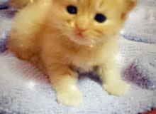 قطط شيرازيه.الاب شيرازي والام تركيه اصلي عمر القطط واحد شهر