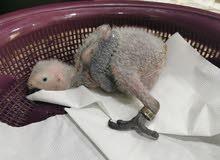 فرخ كاسكو إنتاج محلي Chick African grey