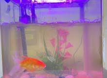 حوض اسماك زينه مع سمكة