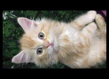 قطط للبيع اليفات