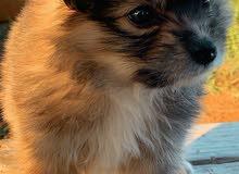بومرينيان العمر 60 يوم.    Pomeranian