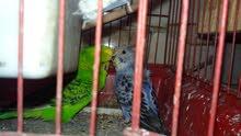 عصافير استرالي شوشه شغالة