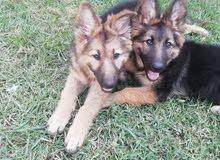كلاب جيرمن لونج هير