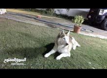 كلب هاسكي ذكر في حالة ممتازة للتلقيح