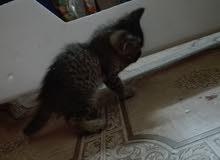 قطط عمر شهر قطط منزليه