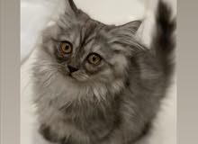 قطه للبيع ب 150