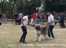 كلب قوقازي للبيع اقرا الوصف