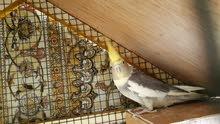 طيور كوكتيل العدد 1