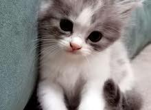 Blue silver Tabby Pure Persian Kitten female