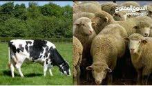 مطلوب كبش او خروف بسعر جيد