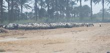 للبيع مزرعة 406 فدان (مصر)