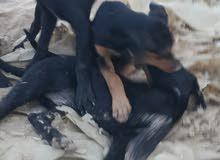 كلاب للبيع عمر اربعة اشهر غير مدربات نوع جيرمن كف عريض سعر الواحد 150 الف للبيع