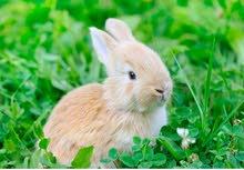 مطلوب 100 أرنب