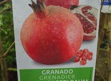 شتلات الفواكه الاسبانيه