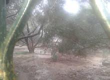 للبيع ارض 1000 متر شرق المغازي مزروعة زتون ونخيل