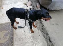 كلب روت عندة 6شهور مدرب طاعة واخد تطعيمات كلها للبيع او للبدل بدوبر مان