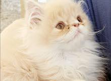 قط خليط بيرجين و هيمالايا
