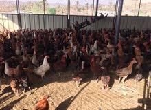500 حبة دجاج بيع مستعجل العمر 6 اشهر الى 7 اشهر