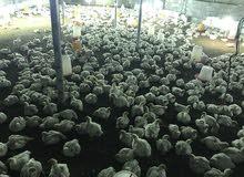 دجاج الابيض لاحم