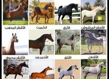 مطلوب حصان او فرس عربي أصيل يكون لونه اما ادهم او كميت او الابلق