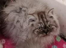 اجمل القطط الشنشيلا البيور للبيع