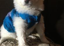 كلب جريفون فرنساوى للبيع