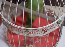 sale this green parrots 7 month old not bite but its littel afride