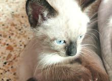 قطط سيامية عمرها شهر.