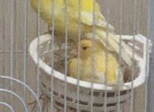 كناري canary