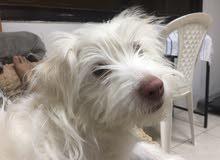 Mixed Havanese puppy