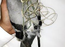 يوجد لدينا شبكة للطيور جميع انواع