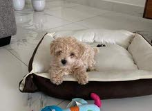 Toy Poodle Apricot Female Puppy Available