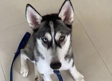 4 month old husky