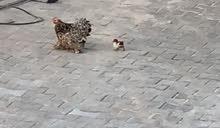 دجاج بانده
