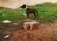 كلب بيتبول للبيع العمر خمسة شهور السعر (400)