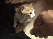 قطة معروضه للتبني لعدم التفرغ