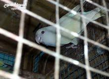 طيور روز منتجات