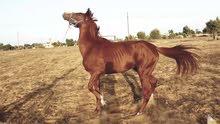 حصان اشقر للبيع ل اعلا سعر الحصان مساوم ب 12 الف .          1
